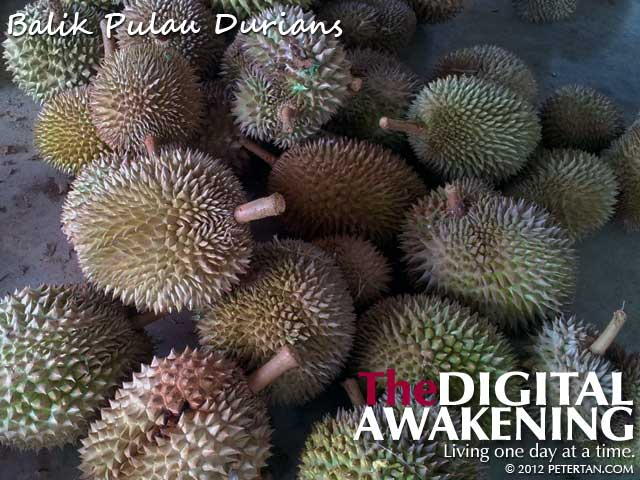 A pile Balik Pulau durians on the floor before sorting