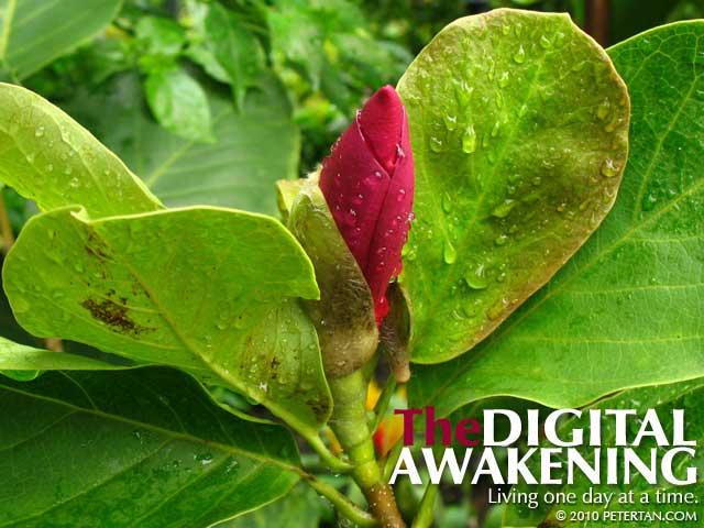 Lily magnolia bud at the Secret Garden of 1 Utama